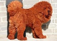 Самый дорогой пес в мире живет в Китае